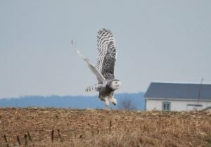 Snowy owl spectacle here spurs bad behavior debate