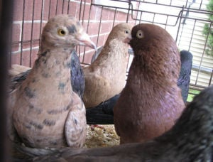 Lancaster city cracks down on pigeon fanciers
