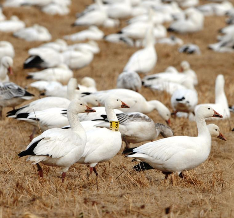 a research on the overpopulation of snow goose Ox ranch is the most exciting red stag hunting ranch in texas we have over 18k acres of trophy red stag hunting, wwii tank driving & shooting, caving etc.