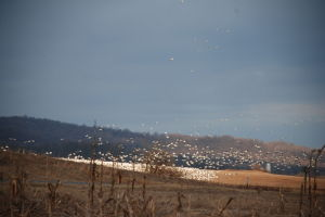 Middle Creek offers views of snow geese, tundra swans
