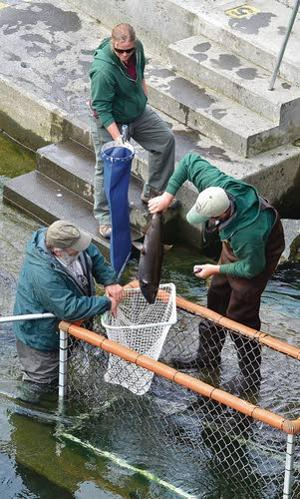 Anglers help boost Clearwater salmon stocks