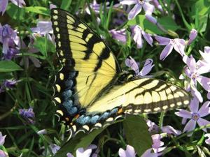 Gardeners can help protect the butterfly