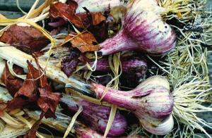 Fall-planted bulbs pay off later in flavor