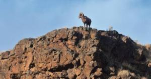 Reward offered in bighorn kill