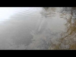 Big muskies spawning- Mille Lacs 2013