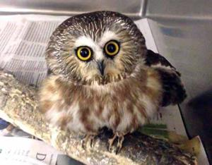 A young owl at Wild and Free.