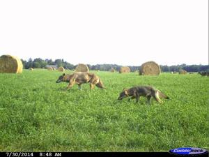 This photo was taken with a trail camera one-half mile west of the Heimark farm.