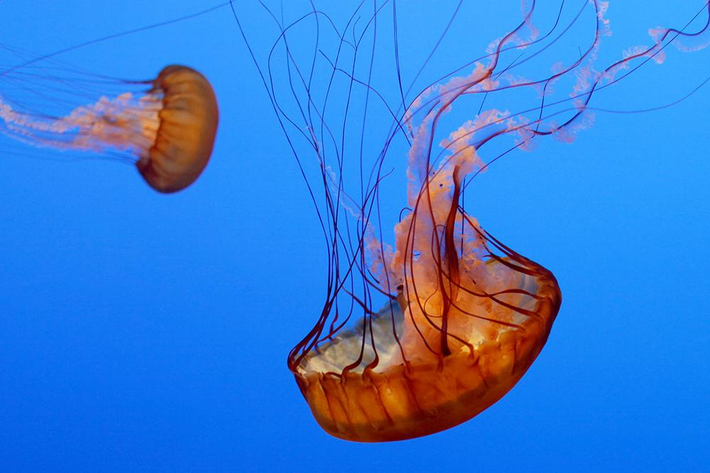Monterey Bay Aquarium Launches Jellyfish Webcam Or As One