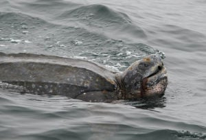 Feds launch leatherback protections on the Central Coast; conservationists log sightings.