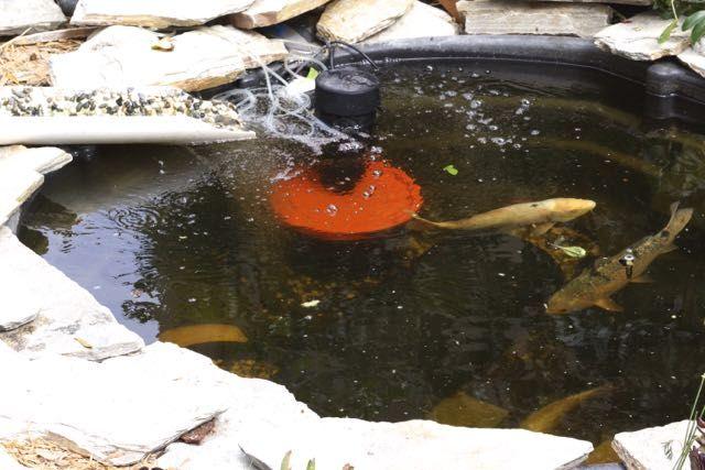 A photo slideshow look at both co 39 s slick aquaponics farm in del rey oaks food blog for Koi fish life span