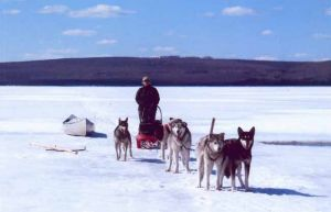 Loyal sled dogs make lake travel easier