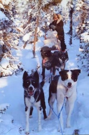 Crazy dogs add excitement to trapline sled run