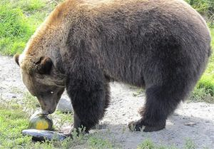 Bears, moose to dine on buffet of giant Alaska vegetables