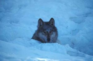 Alaska lone wolf goes the distance - and then some