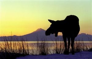 Kenai area's moose populations declining