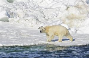 Report: Polar bears' fate tied to reversing global warming