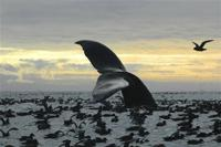 <p>This Sept. 7, 2005 photo released by National Oceanic and Atmospheric Administration shows a humpback whale diving among an aggregation of short-tailed shearwaters in Cape Cheerful, near Unalaska, Alaska. The federal government is proposing removing most of the world's humpback whale population from the endangered species list. National Oceanic and Atmospheric Administration Fisheries announced on Monday, April 20, 2015 that they want to reclassify humpbacks into 14 distinct populations, and remove 10 of those from the list. (Brenda Rone/National Oceanic and Atmospheric Administration via AP)</p>
