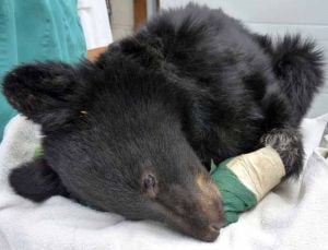 'Boo Boo' a bear cub burned in forest fire, moved to Idaho sanctuary