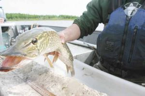 Harding Lake experiencing drop in its pike population