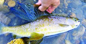 State will discontinue filling Alaska lakes with grayling