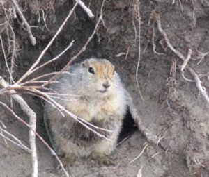 Mummy ground squirrel tells of a different Alaska