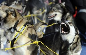 40th Iditarod Trail Sled Dog Race gets under way in Alaska