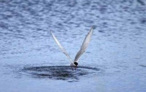 Arctic terns draw crowds to popular Anchorage marsh