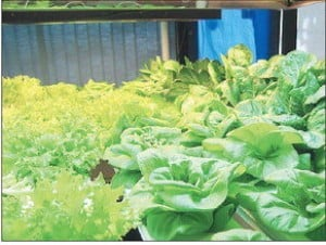 Indoor herb, lettuce plantation works well for Alaska trucker