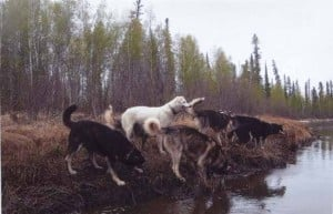 Training dogs to stay close important in rural Alaska