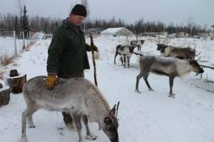 Sturdy reindeer the perfect herd for Two Rivers farmer