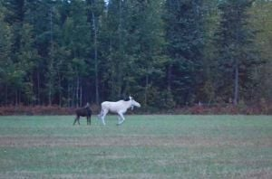 Visitors see white moose near Delta Junction