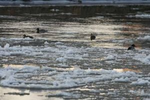 First ice floats through downtown Fairbanks