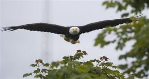 A bad year for eagles in Juneau, expert says