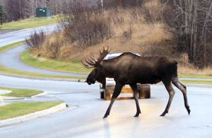 Alaska roadkill thieves target dead moose meant for needy