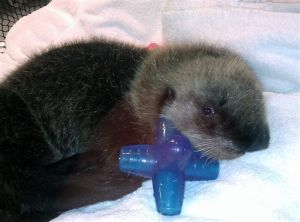 Seward center takes in rescued sea otter pup