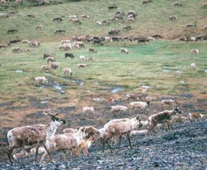 Fortymile caribou hunt could be modified