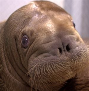 Orphaned Alaska walrus to find home at New York aquarium