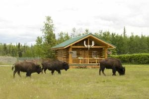 Errant North Pole bison found; owner trying to round them up