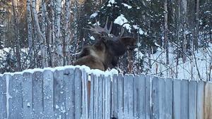 Backyard bull