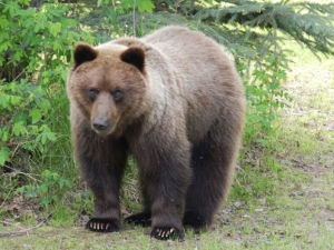 Male grizzly seen roaming Chena Lake, Plack Road area killed