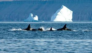 UAF professor publishes first-of-its-kind research tracking orca, narwhal behavior