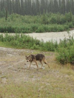 Nome Creek wolf