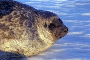 Environmental group sues to protect ice seals