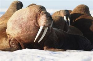Federal judge sentences 4 Alaska men for 2015 walrus deaths