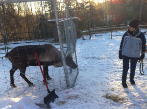 Fairbanks pet reindeer owner falls into tour business
