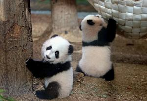 Twin pandas to say bye-bye to Atlanta as they head to China