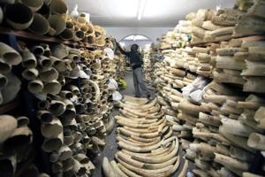 <p>FILE - In this June 2, 2016 file photo, a Zimbabwe National Parks official inspects the stock during a tour of the country's ivory stockpile at the Zimbabwe National Parks Headquarters in Harare. The results of a new survey show a rapid decline in Africa's savanna elephants as international and domestic ivory trades continue to drive poaching across the continent. (AP Photo/Tsvangirayi Mukwazhi, File)</p>