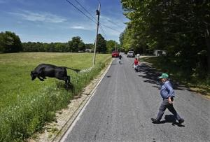 """<p>A bull leaps over an electronic fence as he is driven back into the pasture after escaping onto a road in Turner, Maine, on Sunday, May 29, 2016. Ralph Caldwell, 73, right, sold off his dairy business because of the high price of corn needed to feed his dairy cows. He blames the government for subsidizing ethanol and says corn that could be used to feed people is being used for fuel. """"We think we are so rich and arrogant that we can burn the world's food supply in our automobiles."""" Caldwell has lived at the same farm his entire life. """"I do believe in climate change but it isn't our fault. The climate changes all the time. The world isn't coming to an end over climate change."""" (AP Photo/Robert F. Bukaty)</p>"""