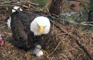<p>In this File photo, a three-day-old eaglet peers out from under one of the adults at Berry College. (Berry Eagle Nest Cam)</p>