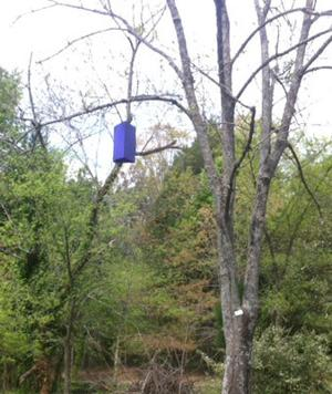 Purple boxes hanging in trees used to test for the Emerald Ash Borer